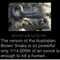 Memes, Snake, and Powerful: a WHATABOUTSCARY  The venom of the Australian  Brown Snake is so powerful  only 1/14,000th of an ounce is  enough to kill a human. Woah ~Noa