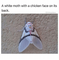 Memes, Animal, and Chicken: A white moth with a chicken face on its  back.  @DrSmashlove @drsmashlove is a must follow for all animal lovers!
