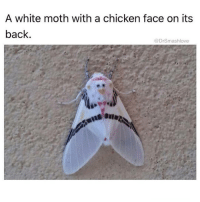 Memes, Animal, and Chicken: A white moth with a chicken face on its  back  @DrSmashlove @drsmashlove is a must follow for all animal lovers!!