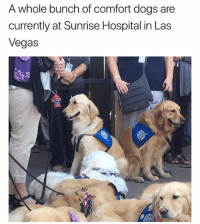 Dogs, Instagram, and Las Vegas: A whole bunch of comfort dogs are  currently at Sunrise Hospital in Las  Vegas @tanksgoodnews is the best thing to happen to my Instagram feed in a long time. Maybe ever.