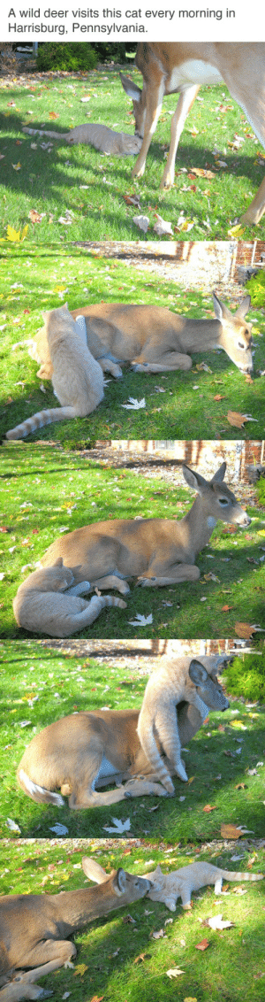 cursed-amulet: my dream is to live in a place where cute forest critters wander into my yard and make friends with my pets: A wild deer visits this cat every morning in  Harrisburg, Pennsylvania cursed-amulet: my dream is to live in a place where cute forest critters wander into my yard and make friends with my pets