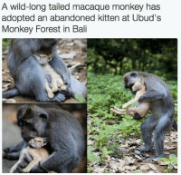 Awwwww: A wild-long tailed macaque monkey has  adopted an abandoned kitten at Ubud's  Monkey Forest in Bali Awwwww