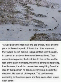 """Wolves can teach us A LOT!  Knowledge of Today — www.knowledgeoftoday.org: """"A wolf pack: the first 3 are the old or sick, they give the  pace to the entire pack. If it was the other way round,  they would be left behind, losing contact with the pack.  In case of an ambush they would be sacrificed. Then  come 5 strong ones, the front line. In the center are the  rest of the pack members, then the 5 strongest following.  Last is alone, the alpha. He controls everything from the  rear. In that position he can see everything, decide the  direction. He sees all of the pack. The pack moves  according to the elders pace and help each other, watch  each other."""" Wolves can teach us A LOT!  Knowledge of Today — www.knowledgeoftoday.org"""