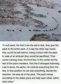 """Amazing!: A wolf pack: the first 3 are the old or sick, they give the  pace to the entire pack. If it was the other way round,  they would be left behind, losing contact with the pack.  In case of an ambush they would be sacrificed. Then  come 5 strong ones, the front line. In the center are the  rest of the pack members, then the 5 strongest following.  Last is alone, the alpha. He controls everything from the  rear. In that position he can see everything, decide the  direction. He sees all of the pack. The pack moves  according to the elders pace and help each other, watch  each other."""" Amazing!"""