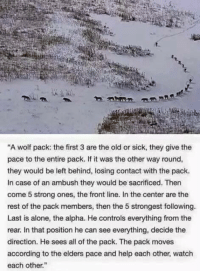 """This is amazing, mad love <3: """"A wolf pack: the first 3 are the old or sick, they give the  pace to the entire pack. If it was the other way round,  they would be left behind, losing contact with the pack.  In case of an ambush they would be sacrificed. Then  come 5 strong ones, the front line. In the center are the  rest of the pack members, then the 5 strongest following.  Last is alone, the alpha. He controls everything from the  rear. In that position he can see everything, decide the  direction. He sees all of the pack. The pack moves  according to the elders pace and help each other, watch  each other."""" This is amazing, mad love <3"""