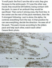 """How a wolf pack moves. It's brilliant. http://9gag.com/gag/aBYKZDN?ref=fbp: """"A wolf pack the first 3 are the oldor sick, they give  the pace to the entire pack. If it was the other way  round, they would be left behind, losing contact with  the pack. In case of an ambush they would be  sacrificed. Then come 5 strong ones, the front line. In  the center are the rest of the pack members, then the  5 strongest following. Last is alone, the alpha. He  controls everything from the rear. In that position he  can see everything, decide the direction. He sees all of  the pack. The pack moves according to the elders  pace and help each other, watch each other.""""  Cesare Brai's photo  VIA 9GAG.COM How a wolf pack moves. It's brilliant. http://9gag.com/gag/aBYKZDN?ref=fbp"""