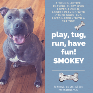 "Bored, Cats, and Children: A YOUNG, ACTIVE,  PLAYFUL PUPPY WHO  LOVED A CHILD,  ADORES PLAYING WITH  OTHER DOGS, AND  LIVED HAPPILY WITH A  CAT TOO!  play, tug,  run, have  fun!  SMOKEY  Id 65156, 1.5 yrs.. 58 lbs.  Manhattan AcC TO BE KILLED – 6/15/2019  He loved playing with other dogs, in fact, he had a ball! He adored an 8 year old child and they were always together, playing happily. Even the family cat loved SMOKEY and they were friends. So what happened? I mean, he's perfect right? Well, yes, of course. He was an active, fun, exuberant puppy whose parent decided she no longer could ""afford"" him. She didn't really spend any time getting him some puppy training, and he thinks his leash is a dandy tug-o-war toy, something that probably was cute when he was in his home and he was not stressed and he would get bored with in a minute, but now is suddenly a fixation on walks, because he is stressed, anxious and literally kicked to the curb by the only family he has ever known and loved. Face it, he's a baby. He misses that child, his dog friends, and the family cat. We see this all the time and 99 percent of the time once these pups are given time to decompress in a structured home environment the leash tugging dissipates like an early morning mist. Smokey is a wonderful boy, a playful, fun, sweet boy. He just needs a committed family who will give him the time, structure, and skills that will make him perfect. He's an unpolished diamond, just waiting to become a bright shining star in your experienced, capable hands. So please, hurry and message our page or email us at MustLoveDogsNYC@gmail.com for assistance fostering or adopting this gorgeous baby boy. He needs to go to an adult only home (children over Age 13 ok).  SMOKEY, ID# 65156, 1.5 Yrs. Old, 58.4 lbs, Unaltered Male Manhattan ACC, Large Mixed Breed, Brindle Owner Surrender Reason: Can't afford to care for him  Shelter Assessment Rating: New Hope Rescue Only Behavior Condition: 5. Red  AT RISK NOTE: Smokey has displayed a low threshold for arousal at the care center and has allowed for minimal handling. Smokey would be best suited for placement with a new hope partner that can provide the necessary behavior modification. Medically, Smokey has dental disease which may need further care.  INTAKE NOTE – DATE OF INTAKE, 6/7/2019: Upon intake Smokey was play-biting his leash and would not release. He finally released when I offered him a squeaky toy. He did not allow for handling and client had to scan for microchip, collar and place in the kennel.  OWNER SURRENDER NOTES – BASIC INFORMATION: Smokey previously lived with 2 adults and 1 child. Smokey's parent stated that Smokey does not allow strangers to pet him and that he gets a little mouthy. Smokey was around an 8 year old child and they played well together. His parent stated that Smokey is very dog friendly and loves to play with all dogs. Smokey also does great with cats and had previously lived with one. Smokey does not guard his resources with his owner, but owner doesn't know if he would do so with strangers. Smokey has no bite history. He is housetrained and has a high energy level. He has never had any medical issues.   SHELTER ASSESSMENT SUMMARY - Date of assessment: 6/11/2019 The previous owners report that Smokey doesn't allow handling by strangers and becomes mouthy. At the care center, Smokey began intensely leash biting and could not be safely handled on leash. While in his kennel, he displayed fearful behaviors when the leash was presented and retreated to the back of his kennel, growling at the handler. For all of these reasons, Smokey is not a safe candidate for a handling assessment at this time.   INTAKE BEHAVIOR - Date of intake:: 6/7/2019 Summary:: leash biting in a playful manner, didn't allow handling by staff  MEDICAL BEHAVIOR - Date of initial:: 6/8/2019 Summary:: snapping at leash, alligator rolling and thrashing, required sedation.  ENERGY LEVEL:: Smokey is described as having a high level of energy. He will need daily mental and physical activity to keep him engaged and exercised. We recommend long-lasting chews, food puzzles, and hide-and-seek games, in additional to physical exercise, to positively direct his energy and enthusiasm. We recommend feeding with puzzle feeders and food-dispensing toys. And we recommend only force-free, reward-based training techniques for Smokey.   BEHAVIOR DETERMINATION:: New Hope Only Behavior Asilomar: TM - Treatable-Manageable  Recommendations:: No children (under 13),Place with a New Hope partner  Recommendations comments:: No children: It is reported by the previous owners that Smokey does not allow handling by strangers and also becomes mouthy with people. At the care center, he has shown a low threshold for arousal and began intensely leash biting and was difficult to handle on leash. He also displayed potential for defensive aggression by growling at a handler in his kennel. For all of these reasons, we recommend an adult-only home for Smokey. Place with a New Hope partner: Smokey has allowed only minimal handling since intake due to his low threshold for arousal, leash biting, and potential for defensive aggression. We recommend placement with a New Hope partner who can provide any necessary behavior modification (force-free, positive reinforcement-based) and re-evaluate behavior in a stable home environment before placement into a permanent home.   Potential challenges: : Mouthiness/poor bite inhibition,Fearful/potential for defensive aggression,Leash-biting,Low threshold for arousal  Potential challenges comments:: Mouthiness/poor bite inhibition: The previous owners report that Smokey can become mouthy with people, especially around strangers. Please see handout on Mouthiness/poor bite inhibition. Fearful/potential for defensive aggression: Smokey has displayed a potential for defensive aggression while in his kennel. When the leash was presented, he retreated to the back of his kennel and began growling at the handler. Please see handout on Fearful/potential for defensive aggression. Leash-biting: Upon intake at the care center, Smokey began intensely leash-biting and could not be safely handled on leash. These behaviors were also seen when a medical exam was attempted. Please see handout on Leash-biting. Low threshold for arousal: Smokey's intense leash-biting behaviors at the care center suggest a low threshold for arousal. Please see handout on Low threshold for arousal.  MEDICAL EXAM NOTES  8/06/2019  Tech Exam Per Dr. 1516, sedated in cage with Telazol 100 mg/ml 1 mls IM @ 11:37AM due to behavior hx  8/06/2019  DVM Intake Exam Estimated age: ~1.5yrs based on PE. Microchip noted on Intake? scanned positive. mc# 981020021128422 History : O surrender due to housing issues. P is MC positive Subjective / Observed Behavior - BAR in kennel, laying in kennel when approached. P snapping at leash and reaching higher toward handler's hand when attempting to leash. When leashed, P is alligator rolling and thrashing. P was sedated for examination and intake tasks. Evidence of Cruelty seen - none Evidence of Trauma seen - none Objective Sedated Exam BCS 5/9 EENT: Eyes clear, ears clean, no nasal or ocular discharge noted Oral Exam: dc 1/5; pd 1/5 ; full exam not performed due to muzzle in place. PLN: No enlargements noted H/L: No murmur ausculted; CRT < 2, Lungs clear, eupnic ABD: Non painful, no masses palpated U/G: intact male. testicles are smooth and symmetrical. MSI: Ambulatory x 4, skin free of parasites, no masses noted, healthy hair coat. small 2mm abrasion along the ventral chin, likely secondary to self trauma during thrashing CNS: Mentation appropriate when awake- no signs of neurologic abnormalities Rectal: externally normal. Assessment dental disease Prognosis: Overall general health, good. Plan: Needs behavioral evaluation due to high leash reactivity. sedated with telazol 1ml IM for exam, LVT tasks SURGERY: Okay for surgery   *** TO FOSTER OR ADOPT ***  SMOKEY IS RESCUE ONLY. You must fill out applications with New Hope Rescues to foster or adopt him. He cannot be reserved online at the ACC ARL, nor can hhe be direct adopted at the shelter. PLEASE HURRY AND MESSAGE OUR PAGE FOR ASSISTANCE!   HOW TO RESERVE A ""TO BE KILLED"" DOG ONLINE (only for those who can get to the shelter IN PERSON to complete the adoption process, and only for the dogs on the list NOT marked New Hope Rescue Only). Follow our Step by Step directions below!   *PLEASE NOTE – YOU MUST USE A PC OR TABLET – PHONE RESERVES WILL NOT WORK! **   STEP 1: CLICK ON THIS RESERVE LINK: https://newhope.shelterbuddy.com/Animal/List  Step 2: Go to the red menu button on the top right corner, click register and fill in your info.   Step 3: Go to your email and verify account  \ Step 4: Go back to the website, click the menu button and view available dogs   Step 5: Scroll to the animal you are interested and click reserve   STEP 6 ( MOST IMPORTANT STEP ): GO TO THE MENU AGAIN AND VIEW YOUR CART. THE ANIMAL SHOULD NOW BE IN YOUR CART!  Step 7: Fill in your credit card info and complete transaction   HOW TO FOSTER OR ADOPT IF YOU *CANNOT* GET TO THE SHELTER IN PERSON, OR IF THE DOG IS NEW HOPE RESCUE ONLY!   You must live within 3 – 4 hours of NY, NJ, PA, CT, RI, DE, MD, MA, NH, VT, ME or Norther VA.   Please PM our page for assistance. You will need to fill out applications with a New Hope Rescue Partner to foster or adopt a dog on the To Be Killed list, including those labelled Rescue Only. Hurry please, time is short, and the Rescues need time to process the applications."