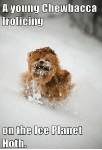 Hoth: A young Chewbacca  frolicing  on the Ice Planet  Hoth