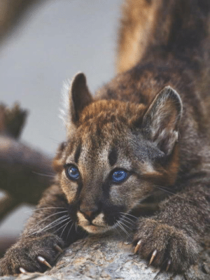 A Young Cougar: A Young Cougar
