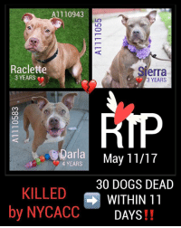 DeathrowDogs RIP🌹 NY DOGS adopt rescue foster SaveALife surrenders strays NoChance Killed Euthanized Senior BABY* Shameful InnocentVictims Heartbreaking NOKill May112017 30DEAD TheyMattered Pray4Change AsinineExcuses CIRDC DidNotDeserveThis . REASONS THEY WERE KILLED BY NYCACC WERE ~ . . • RACLETTE - A1110943 - STRAY - MANHATTAN - ADOPTABLE - This SCARED YOUNG GIRL did ALLOW some Handling😊. As a Stray she was Teriffied-Scared and Unsure of the ACC Environment she found herself in 😰. Raclette proved she could BOND quickly with a person (volunteer) - SJE JUST NEEDED TO FEEL SAFE IN ORDER TO TRUST 😔 😢💔💔 . . • SIERRA - A1111055 - 3YEARS - STRAY - BROOKLYN - ADOPTABLE - This STATUESQUE GAL was Friendly-Happy and Social 😊. She was LEASH RE-ACTIVE and Uncomfortable being Under-socialized with her Peers 😞💔😢 . . • DARLA - A1110583 - 4YEARS - ABANDONED (TIED TO A FENCE) 💔- BROOKLYN - ADOPTABLE - This YOUNG LADY LOVED😍 the CAR RIDE in the Police Car!! She was Sweet-Charming-Friendly and Affectionate😊. Unfortunately she developed KENNEL COUGH 😰and it put her at Risk. 😰😢💔 . . ALL THREE OF THESE YOUNG GIRLS WERE LISTED FOR JUST ONE NIGHT ONLY 💔NO ONE CAME FORWARD TO HELP ANY OF THEM 😢💔 . GOD BLESS THE INNOCENT VICTIMS 🙏🏻💓: A1110943  Raclette  Verra  3 YEARS  3 YEARS  RIP  Bparla  4 YEARS  May 11/17  30 DOGS DEAD  KILLED  WITHIN 11  by NYCACC  DAYS DeathrowDogs RIP🌹 NY DOGS adopt rescue foster SaveALife surrenders strays NoChance Killed Euthanized Senior BABY* Shameful InnocentVictims Heartbreaking NOKill May112017 30DEAD TheyMattered Pray4Change AsinineExcuses CIRDC DidNotDeserveThis . REASONS THEY WERE KILLED BY NYCACC WERE ~ . . • RACLETTE - A1110943 - STRAY - MANHATTAN - ADOPTABLE - This SCARED YOUNG GIRL did ALLOW some Handling😊. As a Stray she was Teriffied-Scared and Unsure of the ACC Environment she found herself in 😰. Raclette proved she could BOND quickly with a person (volunteer) - SJE JUST NEEDED TO FEEL SAFE IN ORDER TO TRUST 😔 😢💔💔 . . • SIERRA - A1111055 - 3YEARS - STRAY - BROOKLYN - ADOPTABLE - This STATUESQUE GAL was Friendly-Happy and Social 😊. She was LEASH RE-ACTIVE and Uncomfortable being Under-socialized with her Peers 😞💔😢 . . • DARLA - A1110583 - 4YEARS - ABANDONED (TIED TO A FENCE) 💔- BROOKLYN - ADOPTABLE - This YOUNG LADY LOVED😍 the CAR RIDE in the Police Car!! She was Sweet-Charming-Friendly and Affectionate😊. Unfortunately she developed KENNEL COUGH 😰and it put her at Risk. 😰😢💔 . . ALL THREE OF THESE YOUNG GIRLS WERE LISTED FOR JUST ONE NIGHT ONLY 💔NO ONE CAME FORWARD TO HELP ANY OF THEM 😢💔 . GOD BLESS THE INNOCENT VICTIMS 🙏🏻💓