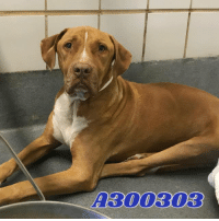 Dogs, Food, and Memes: A300303 Email Placement@sanantoniopetsalive.org if you are interested in Adopting, Fostering, or Rescuing!  Our shelter is open from 11AM-7PM Mon -Fri, 11AM-5PM Sat and Sun.  Urgent Pets are at Animal Care Services/151 Campus. SAPA! is Only in Bldg 1 GO TO SAPA BLDG 1 & bring the Pet's ID! Address: 4710 Hwy. 151 San Antonio, Texas 78227 (Next Door to the San Antonio Food Bank on 151 Access Road)  **All Safe Dogs can be found in our Safe Album!** ---------------------------------------------------------------------------------------------------------- **SHORT TERM FOSTERS ARE NEEDED TO SAVE LIVES- email placement@sanantoniopetsalive.org if you are interested in being a temporary foster!!**