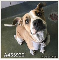 Dogs, Food, and Memes: A465930  PIC.COLLAGE Email Placement@sanantoniopetsalive.org if you are interested in Adopting, Fostering, or Rescuing!  Our shelter is open from 11AM-7PM Mon -Fri, 11AM-5PM Sat and Sun.  Urgent Pets are at Animal Care Services/151 Campus. SAPA! is Only in Bldg 1 GO TO SAPA BLDG 1 & bring the Pet's ID! Address: 4710 Hwy. 151 San Antonio, Texas 78227 (Next Door to the San Antonio Food Bank on 151 Access Road)  **All Safe Dogs can be found in our Safe Album!** ---------------------------------------------------------------------------------------------------------- **SHORT TERM FOSTERS ARE NEEDED TO SAVE LIVES- email placement@sanantoniopetsalive.org if you are interested in being a temporary foster!!**