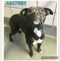 Dogs, Food, and Memes: A467985  PIC COLLAGE Email Placement@sanantoniopetsalive.org if you are interested in Adopting, Fostering, or Rescuing!  Our shelter is open from 11AM-7PM Mon -Fri, 11AM-5PM Sat and Sun.  Urgent Pets are at Animal Care Services/151 Campus. SAPA! is Only in Bldg 1 GO TO SAPA BLDG 1 & bring the Pet's ID! Address: 4710 Hwy. 151 San Antonio, Texas 78227 (Next Door to the San Antonio Food Bank on 151 Access Road)  **All Safe Dogs can be found in our Safe Album!** ---------------------------------------------------------------------------------------------------------- **SHORT TERM FOSTERS ARE NEEDED TO SAVE LIVES- email placement@sanantoniopetsalive.org if you are interested in being a temporary foster!!**