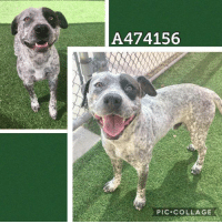 Dogs, Food, and Memes: A474156  PIC COLLAGE Email Placement@sanantoniopetsalive.org if you are interested in Adopting, Fostering, or Rescuing!  Our shelter is open from 11AM-7PM Mon -Fri, 11AM-5PM Sat and Sun.  Urgent Pets are at Animal Care Services/151 Campus. SAPA! is Only in Bldg 1 GO TO SAPA BLDG 1 & bring the Pet's ID! Address: 4710 Hwy. 151 San Antonio, Texas 78227 (Next Door to the San Antonio Food Bank on 151 Access Road)  **All Safe Dogs can be found in our Safe Album!** ---------------------------------------------------------------------------------------------------------- **SHORT TERM FOSTERS ARE NEEDED TO SAVE LIVES- email placement@sanantoniopetsalive.org if you are interested in being a temporary foster!!**