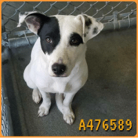 Dogs, Food, and Memes: A476589 Email Placement@sanantoniopetsalive.org if you are interested in Adopting, Fostering, or Rescuing!  Our shelter is open from 11AM-7PM Mon -Fri, 11AM-5PM Sat and Sun.  Urgent Pets are at Animal Care Services/151 Campus. SAPA! is Only in Bldg 1 GO TO SAPA BLDG 1 & bring the Pet's ID! Address: 4710 Hwy. 151 San Antonio, Texas 78227 (Next Door to the San Antonio Food Bank on 151 Access Road)  **All Safe Dogs can be found in our Safe Album!** ---------------------------------------------------------------------------------------------------------- **SHORT TERM FOSTERS ARE NEEDED TO SAVE LIVES- email placement@sanantoniopetsalive.org if you are interested in being a temporary foster!!**