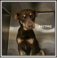 Dogs, Food, and Memes: A477948 Email Placement@sanantoniopetsalive.org if you are interested in Adopting, Fostering, or Rescuing!  Our shelter is open from 11AM-7PM Mon -Fri, 11AM-5PM Sat and Sun.  Urgent Pets are at Animal Care Services/151 Campus. SAPA! is Only in Bldg 1 GO TO SAPA BLDG 1 & bring the Pet's ID! Address: 4710 Hwy. 151 San Antonio, Texas 78227 (Next Door to the San Antonio Food Bank on 151 Access Road)  **All Safe Dogs can be found in our Safe Album!** ---------------------------------------------------------------------------------------------------------- **SHORT TERM FOSTERS ARE NEEDED TO SAVE LIVES- email placement@sanantoniopetsalive.org if you are interested in being a temporary foster!!**