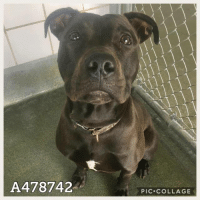 Dogs, Food, and Memes: A478742  PIC.COLLAGE Email Placement@sanantoniopetsalive.org if you are interested in Adopting, Fostering, or Rescuing!  Our shelter is open from 11AM-7PM Mon -Fri, 11AM-5PM Sat and Sun.  Urgent Pets are at Animal Care Services/151 Campus. SAPA! is Only in Bldg 1 GO TO SAPA BLDG 1 & bring the Pet's ID! Address: 4710 Hwy. 151 San Antonio, Texas 78227 (Next Door to the San Antonio Food Bank on 151 Access Road)  **All Safe Dogs can be found in our Safe Album!** ---------------------------------------------------------------------------------------------------------- **SHORT TERM FOSTERS ARE NEEDED TO SAVE LIVES- email placement@sanantoniopetsalive.org if you are interested in being a temporary foster!!**