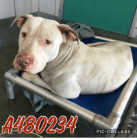 Dogs, Food, and Memes: A480234  PIC.COLLAGE Email Placement@sanantoniopetsalive.org if you are interested in Adopting, Fostering, or Rescuing!  Our shelter is open from 11AM-7PM Mon -Fri, 11AM-5PM Sat and Sun.  Urgent Pets are at Animal Care Services/151 Campus. SAPA! is Only in Bldg 1 GO TO SAPA BLDG 1 & bring the Pet's ID! Address: 4710 Hwy. 151 San Antonio, Texas 78227 (Next Door to the San Antonio Food Bank on 151 Access Road)  **All Safe Dogs can be found in our Safe Album!** ---------------------------------------------------------------------------------------------------------- **SHORT TERM FOSTERS ARE NEEDED TO SAVE LIVES- email placement@sanantoniopetsalive.org if you are interested in being a temporary foster!!**