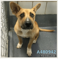 Dogs, Food, and Memes: A480942  PIC.COLLAGE Email Placement@sanantoniopetsalive.org if you are interested in Adopting, Fostering, or Rescuing!  Our shelter is open from 11AM-7PM Mon -Fri, 11AM-5PM Sat and Sun.  Urgent Pets are at Animal Care Services/151 Campus. SAPA! is Only in Bldg 1 GO TO SAPA BLDG 1 & bring the Pet's ID! Address: 4710 Hwy. 151 San Antonio, Texas 78227 (Next Door to the San Antonio Food Bank on 151 Access Road)  **All Safe Dogs can be found in our Safe Album!** ---------------------------------------------------------------------------------------------------------- **SHORT TERM FOSTERS ARE NEEDED TO SAVE LIVES- email placement@sanantoniopetsalive.org if you are interested in being a temporary foster!!**