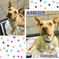 Dogs, Food, and Memes: A481329  PIC COLLAGE Email Placement@sanantoniopetsalive.org if you are interested in Adopting, Fostering, or Rescuing!  Our shelter is open from 11AM-7PM Mon -Fri, 11AM-5PM Sat and Sun.  Urgent Pets are at Animal Care Services/151 Campus. SAPA! is Only in Bldg 1 GO TO SAPA BLDG 1 & bring the Pet's ID! Address: 4710 Hwy. 151 San Antonio, Texas 78227 (Next Door to the San Antonio Food Bank on 151 Access Road)  **All Safe Dogs can be found in our Safe Album!** ---------------------------------------------------------------------------------------------------------- **SHORT TERM FOSTERS ARE NEEDED TO SAVE LIVES- email placement@sanantoniopetsalive.org if you are interested in being a temporary foster!!**