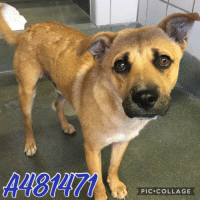 Dogs, Food, and Memes: A48147  PIC COLLAGE Email Placement@sanantoniopetsalive.org if you are interested in Adopting, Fostering, or Rescuing!  Our shelter is open from 11AM-7PM Mon -Fri, 11AM-5PM Sat and Sun.  Urgent Pets are at Animal Care Services/151 Campus. SAPA! is Only in Bldg 1 GO TO SAPA BLDG 1 & bring the Pet's ID! Address: 4710 Hwy. 151 San Antonio, Texas 78227 (Next Door to the San Antonio Food Bank on 151 Access Road)  **All Safe Dogs can be found in our Safe Album!** ---------------------------------------------------------------------------------------------------------- **SHORT TERM FOSTERS ARE NEEDED TO SAVE LIVES- email placement@sanantoniopetsalive.org if you are interested in being a temporary foster!!**
