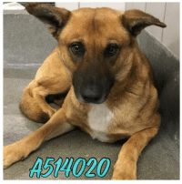 Alive, Dogs, and Memes: A514020 ALL THESE DOGS ARE LOCATED AT THE 151/ACS CAMPUS & BEING MARKETED BY SAN ANTONIO PETS ALIVE TO HELP GET THEM PLACED & OUT OF THE CITY SHELTER!! Email Placement@sanantoniopetsalive.org if you are interested in Adopting, Fostering, or Rescuing!                                                                                                                                                                                                                                                           ** Please note that San Antonio Pets Alive is a separate organization from the SA city shelter (Animal Care Services). This page was created and updated by the no-kill organization, San Antonio Pets Alive to market and help save the lives of the dogs on the euthanasia list at the SA City shelter**  **ALL SAFE DOGS ARE IN SAFE ALBUMS IN THE MONTH THEY WERE SAVED**
