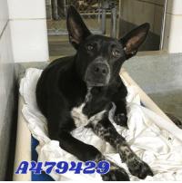 Dogs, Food, and Memes: A79229 Email Placement@sanantoniopetsalive.org if you are interested in Adopting, Fostering, or Rescuing!  Our shelter is open from 11AM-7PM Mon -Fri, 11AM-5PM Sat and Sun.  Urgent Pets are at Animal Care Services/151 Campus. SAPA! is Only in Bldg 1 GO TO SAPA BLDG 1 & bring the Pet's ID! Address: 4710 Hwy. 151 San Antonio, Texas 78227 (Next Door to the San Antonio Food Bank on 151 Access Road)  **All Safe Dogs can be found in our Safe Album!** ---------------------------------------------------------------------------------------------------------- **SHORT TERM FOSTERS ARE NEEDED TO SAVE LIVES- email placement@sanantoniopetsalive.org if you are interested in being a temporary foster!!**