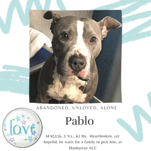 "Being Alone, Apparently, and Children: ABANDONED, UNLOVED, ALONE  Pablo  ove  Id 65156, 3 Yrs., 62 Ibs. Heartbroken, yet  hope ful, he waits for a family to pick him, at  Manhattan ACC TO BE KILLED – 6/20/2019  If Pablo is terrified at the shelter, just read his notes.  This poor boy was surrendered as a stray, but apparently he was not taken off the street, but out of the home of the person who he had been living with for (and these are mixed notes!) either 2 months or 2 years.  He must have been doing something right!  Now Pablo has been dumped by the person he trusted most in the world, and they didn't even bother to leave any notes that would tell us about his wonderful qualities, or what his favorite toy is, or what his favorite activity is.  They simply walked away.  How is Pablo to shine on a list with 13 other dogs?  How is he to speak to us so he can say ""I am a good dog, I am a sweet boy, please give me a chance?""   He can't.  So we have to do it for him.  Please share Pablo far and wide for a home.  Or if you are an experienced foster or adopter in an adult only home who can give him shelter, hurry and message our page or email us at MustLoveDogsNYC@gmail.com for assistance fostering or adopting this adorable boy with his curious eyes, loving heart, and cutest ear set on earth.  PABLO, ID# 65156, 3 Yrs. Old, 63.6 lbs, Unaltered Male Manhattan ACC, Large Mixed Breed, Gray / White I came to the shelter as a Stray, 6/11/2019 Shelter Assessment Rating:   New Hope Rescue Only Behavior Condition:     AT RISK NOTE:   Pablo has displayed distance increasing behaviors at the care center and has remained fearful, not allowing for handling. Pablo would be best suited for placement with a new hope partner that can provide the necessary behavior modification. Medically, Pablo seems healthy.   SHELTER ASSESSMENT - Date of assessment: 6/15/2019 Summary:: Staff members have not been able to safely handle Pablo since he arrived at the care center. He was lunging, barking, and growling when he first arrived and when approached in his kennel, he begins lunging and barking at the handlers. Therefore, he is not a safe candidate for a handling assessment at this time.   ENERGY LEVEL:: We have no history on Pablo so we cannot be certain of his behavior in a home environment. However, he is a young, enthusiastic, social dog who will need daily mental and physical activity to keep him engaged and exercised. We recommend long-lasting chews, food puzzles, and hide-and-seek games, in additional to physical exercise, to positively direct his energy and enthusiasm.   BEHAVIOR DETERMINATION:: New Hope Only Behavior Asilomar: TM - Treatable-Manageable  Recommendations:: No children (under 13),Place with a New Hope partner  Recommendations comments:: No children: Due to the level of defensive aggression Pablo has displayed at the care center around staff and handlers, we recommend an adult-only home. Place with a New Hope partner: Pablo has not acclimated well to the kennel environment and has allowed only minimal handling since intake. We recommend placement with a New Hope partner who can provide any necessary behavior modification (force-free, positive reinforcement-based) and re-evaluate behavior in a stable home environment before placement into a permanent home.   Potential challenges: : Fearful/potential for defensive aggression, Bite history (dog)  Potential challenges comments:: Fearful/potential for defensive aggression: Pablo has been very uncomfortable at the care center and has shown a high potential for defensive aggression. He has not allowed handling by staff and lunges and barks at handlers when they approach his kennel or attempt to handle him. Please see handout on Fearful/potential for defensive aggression. Bite history (dog): The previous owners report that Pablo bit the other small dog in the home about 2 years ago. This bite resulted in the removal of one of the small dog's eyeballs. Please see handout on Bite history.   MEDICAL EXAM NOTES  6/14/2019 DVM Intake Exam Estimated age: 4 Microchip noted on Intake? n Microchip Number (If Applicable): n History: Police surrender Subjective: BAR, euhydrated, MM pink/moist, CRT Observed Behavior: lunging at kennel door - barking; fractious - required chemical restraint - 0.7 ml dexmeditomidine IM; 05 ml Butorphanol IM; 1ml Ketamine; full reversal 0.7 ml antisedan During rabies pole restraint patient began to bite and lung at the rabies pole causing oral bleeding Evidence of Cruelty seen -n Evidence of Trauma seen -n Objective T = - P = wnl R = wnl EENT: Anterior chambers clear OU; no corneal defects; no ocular or nasal discharge; no oral masses or ulcerations seen Oral Exam: Muzzled - partial exam performed - Moderate amount of gingival bleeding - no fractures of the incisors or canines seen PLN: No enlargements noted H/L: No murmurs or arrhythmias; strong, synchronous femoral pulses bilaterally; Eupneic; normal bronchovesicular sounds in all fields; no crackles/wheezes ABD: Non painful, no masses palpated U/G: two descended testicles MSI: BCS 5/9 ; Ambulatory x 4 with no lameness, skin free of parasites, no masses noted, healthy hair coat CNS: Appropriate mentation; no cranial nerve deficits; no proprioceptive deficits; no ataxia Rectal: externally normal Assessment: 1. Oral bleeding secondary to rabies pole placement due to patient biting at the pole 2. Otherwise Healthy SURGERY: Okay for surgery Prognosis: Excellent   *** TO FOSTER OR ADOPT ***  PABLO IS RESCUE ONLY. You must fill out applications with New Hope Rescues to foster or adopt him. He cannot be reserved online at the ACC ARL, nor can hhe be direct adopted at the shelter. PLEASE HURRY AND MESSAGE OUR PAGE FOR ASSISTANCE!   HOW TO RESERVE A ""TO BE KILLED"" DOG ONLINE (only for those who can get to the shelter IN PERSON to complete the adoption process, and only for the dogs on the list NOT marked New Hope Rescue Only). Follow our Step by Step directions below!   *PLEASE NOTE – YOU MUST USE A PC OR TABLET – PHONE RESERVES WILL NOT WORK! **   STEP 1: CLICK ON THIS RESERVE LINK: https://newhope.shelterbuddy.com/Animal/List  Step 2: Go to the red menu button on the top right corner, click register and fill in your info.   Step 3: Go to your email and verify account  \ Step 4: Go back to the website, click the menu button and view available dogs   Step 5: Scroll to the animal you are interested and click reserve   STEP 6 ( MOST IMPORTANT STEP ): GO TO THE MENU AGAIN AND VIEW YOUR CART. THE ANIMAL SHOULD NOW BE IN YOUR CART!  Step 7: Fill in your credit card info and complete transaction   HOW TO FOSTER OR ADOPT IF YOU *CANNOT* GET TO THE SHELTER IN PERSON, OR IF THE DOG IS NEW HOPE RESCUE ONLY!   You must live within 3 – 4 hours of NY, NJ, PA, CT, RI, DE, MD, MA, NH, VT, ME or Norther VA.   Please PM our page for assistance. You will need to fill out applications with a New Hope Rescue Partner to foster or adopt a dog on the To Be Killed list, including those labelled Rescue Only. Hurry please, time is short, and the Rescues need time to process the applications.  Shelter contact information Phone number (212) 788-4000  Email adoption@nycacc.org  Shelter Addresses: Brooklyn Shelter: 2336 Linden Boulevard Brooklyn, NY 11208 Manhattan Shelter: 326 East 110 St. New York, NY 10029 Staten Island Shelter: 3139 Veterans Road West Staten Island, NY 10309    *** NEW NYC ACC RATING SYSTEM ***  Level 1 Dogs with Level 1 determinations are suitable for the majority of homes. These dogs are not displaying concerning behaviors in shelter, and the owner surrender profile (where available) is positive.   Level 2  Dogs with Level 2 determinations will be suitable for adopters with some previous dog experience. They will have displayed behavior in the shelter (or have owner reported behavior) that requires some training, or is simply not suitable for an adopter with minimal experience.    Level 3 Dogs with Level 3 determinations will need to go to homes with experienced adopters, and the ACC strongly suggest that the adopter have prior experience with the challenges described and/or an understanding of the challenge and how to manage it safely in a home environment."