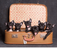 "🐶🌟FRENCHIE PUPPIES FOR SALE🌟🐶  Valentine's Day is just around the corner and you couldn't possibly find another gift that says ""I LOVE YOU"" more than a frenchie puppy 💝💝💝💝  We have 4 adorable puppies available from our 'K clan' litter (pictured) 2 boys & 2 girls. Puppies come microchipped, vaccinated, wormed, flea treated and vet checked.  They also come with a puppy pack and a lifetime of breeder support.  Ready to leave from the 29th of January. Puppies will be papered are available on mains or limited register.  Dad is a blue USA import so these puppies do carry the blue gene.  Located on the Gold Coast QLD  Puppies can be freight interstate at buyers expense. Prices start at 5k: ABb*tw-7 / Asis 씬ン/AS  yaz ⓚ// 4 穿ー농 \y""®./ se./\y  胎4  an  chies  受. 🐶🌟FRENCHIE PUPPIES FOR SALE🌟🐶  Valentine's Day is just around the corner and you couldn't possibly find another gift that says ""I LOVE YOU"" more than a frenchie puppy 💝💝💝💝  We have 4 adorable puppies available from our 'K clan' litter (pictured) 2 boys & 2 girls. Puppies come microchipped, vaccinated, wormed, flea treated and vet checked.  They also come with a puppy pack and a lifetime of breeder support.  Ready to leave from the 29th of January. Puppies will be papered are available on mains or limited register.  Dad is a blue USA import so these puppies do carry the blue gene.  Located on the Gold Coast QLD  Puppies can be freight interstate at buyers expense. Prices start at 5k"