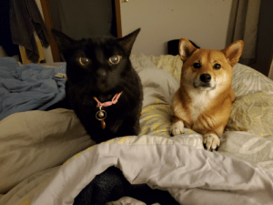 Abby (cat) and Zoe (dog) begging for string cheese...: Abby (cat) and Zoe (dog) begging for string cheese...