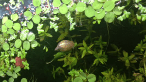 Tumblr, Blog, and Http: ablogforbettas:my snail made a boat out of a leaf and I'm very impressed.
