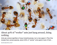 "boingboing: About 40% of ""worker"" ants just hang around, doing  nothing  Ants are cultural signifiers of busy industriousness, but a new paper in Plos One  reveals that, across species, about 40% of ""worker"" ants spend most of their  BOINGBOING.NET"