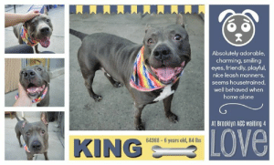 "Being Alone, Bones, and Cats: Absolutely adorable,  charming, smiling  eyes, friendly, playful,  nice leash manners,  seems housetrained  well behaved when  home alone  At Brooklyn ACC waiting 4  LOVE  64368-6 years old, 84 lbs  KING TO BE KILLED 6/20/19  WHO DOESN'T LIKE A LITTLE MEAT AND POTATOES?! WE KNOW KING DOES! A volunteer writes: A manatee and a bunny had a baby, called him King, and here he is and he is SO charming! He's usually beached on his bed when I come to take him out but offers me little wiggles and is happy to go out and about. Sometimes he holds the leash in his mouth as if he wants to walk himself but usually decides on his own he'll let me have the honor! Despite his size he's not much of a puller and he seems housebroken. His previous owners describe him as friendly and playful and report that he has an ideal medium energy level and is well behaved when left alone. As his chubby physique might suggest, he loves treats and already knows some basic commands (his response rate isn't 100% but he seems to know ""sit"", ""paw"" and ""down"" -- a star!). He likes toys, leans in for pets, and there is just something so, so sweet about him! He's looking for a couch to call his throne and hope you'll come visit him at Brooklyn ACC.  MY MOVIE: King <3 https://youtu.be/Uj_t9Jq6ba0  King, chunky grey bunny boy  https://youtu.be/MiEjAcwdlVw  KING@BROOKLYN ACC King ID# 64368  Sex: Male Age: 6 years old Length: Short Is Vaccinated: Yes Coat Type: Smooth Primary Color: Gray Weight: 84.3 lbs. Shelter Assessment Rating: LEVEL 3 Medical Behavior Rating: Orange  Intake Date: 05-30-2019 My health has been checked. My vaccinations are up to date. My worming is up to date. I have been microchipped. Animal Identification Animal ID: 64368 Please take note of the Animal ID before contacting shelter   I came into the shelter as a owner surrender on 5/30/2019, with the surrender reason stated as person circumstance- moving - no pets allowed.  Behavior History: Upon intake King allowed all handling. Counselor was able to collar, take a photo and pet.  Date of Intake: 5/30/2019  Spay/Neuter Status: Not Applicable  Basic Information:: King is approximately 6 years old. He is an unaltered male.He was surrendered to BACC due to the owner moving.  Previously lived with:: 3 adults  How is this dog around strangers?: Owner stated king is friendly and outgoing towards strangers.  How is this dog around children?: Owner stated he lived with children of all ages and is usually tolerant around them.  How is this dog around other dogs?: Has not been around other dogs, so it is unknown of the behavior.  How is this dog around cats?: Has not been around other cats so it is unknown of the behavior.  Resource guarding:: Owner stated King resource guard his food and toys. He will growl and bark if your try to take it away.  Bite history:: None  Housetrained:: Unknown  Energy level/descriptors:: medium  For a New Family to Know: Owner stated King is a friendly, playful and outgoing dog. He has a medium activity level. Wh en home he rarely seek attention. He likes to play with toys such as squeaky, chew bones and Frisbee. He also alert bark and likes to guard the house. He is mostly indoors. He its both wet and dry food about twice a day. He is house trained. He is well behaved when left in the home. King has been crate trained for a few hours. He likes to brisk walk and run.  Behavior Assessment Date of intake:: 5/30/2019  Spay/Neuter status:: No  Means of surrender (length of time in previous home):: Owner surrender  Previously lived with:: 3 Adults  Behavior toward strangers:: Friendly and outgoing  Behavior toward children:: Tolerant (w/previous resident children - varying ages)  Behavior toward dogs:: Unknown  Behavior toward cats:: Unknown  Resource guarding:: Previous owner reported King to growl and bark if his food or toys are attempted to be taken away. No resource guarding reported over toys.  Bite history:: None reported  Housetrained:: Unknown  Energy level/descriptors:: King is described as friendly, playful and outgoing with a medium level of energy.  Summary:: Leash Walking Strength and pulling: Moderate pulling Reactivity to humans: None Reactivity to dogs:  Leash walking comments: Attempts to mouth the rope during the walk   Sociability Loose in room (15-20 seconds): Neutral body and tail, some panting, accepts contact, explores room, but stays near handlers, tail wagging, some lip licking, approaches handler Call over: Approaches readily, slow and loose Sociability comments: Observed to stare toward assistant, but was easily redirected  Handling  Soft handling: Soft-neutral body, tail wagging, panting, some lip licking and soft head flips when handling paws, accepts all contact Exuberant handling: Soft-neutral body, tail wagging, panting, some lip licking, leans into and accepts all contact Handling comments: After handling was completed, King was observed to grip the leash and begin to pull and low growl; When he was redirected, he shook off and somewhat settled  Arousal Jog: Follows handler, soft and loose; On third pass, turns head up and mouths toward leash, recovers on his own Arousal comments:   Knock Knock Comments: Whines when assistant exits the room; No response to knock; Pulls hard toward door when assistant enters seeking exit, then approaches assistant and solicits attention  Toy Toy comments: Grips firmly and low growls  Summary:: According to King's previous owner, King has not interacted with other dogs so his past behavior around dogs is unknown.  6/2: When off leash at the Care Center, King is introduced to a novel female dog. He greets her with a sexually motivated posture and places his chin over her back and positions himself to mount. He is interrupted by handlers and is slow to listen. The female walks away and King follows her and mounts. He ignores handler interruption and is separated.  My medical notes are... Weight: 84.3 lbs  Vet Notes 5/30/2019  DVM Intake Estimated age: 6 years Microchip noted on Intake? No Microchip Number (If Applicable):  History: Owner surrender   Subjective: BARH, no coughing/sneezing/vomiting/diarrhea.   Observed behavior: Panting, some whale eye during exam. Started hard barking during treatments. Evidence of cruelty seen: No Evidence of trauma seen: No  Objective: P: WNL R: WNL BCS: 7/9  OP: Mucous membranes pink and moist. CRT <2. Stage II dental disease. EENT: Ears and nares clear bilaterally, no discharge noted. Moderate scleral injection OU, no discharge.  PLN: Small/soft/symmetrical/nonpainful CV: No murmurs or arrhythmias, pulses strong and synchronous. RESP: Eupneic, no crackles/wheezes GI: Soft, nonpainful, no palpable masses. UG: Male intact, two descended testicles, no discharge INT: Fair hair coat, increased dander with dry skin. 1 cm abrasion on dorsal aspect of tail. No ectoparasites or masses noted. MS: Ambulatory x4, no pain on palpation of epaxials. Overgrown nails. NEURO: Mentation appropriate, cranial nerves intact, no deficits noted.  Assessment: -Conjunctivitis (likely allergic) -Diffuse dermatitis -Overweight  Prognosis:  Fair  Plan: -Unable to complete intake treatments due to behavior--nail trim and other tasks to be performed with neuter -Recommend dental cleaning, dermatology consult and bloodwork +/- food trial with placement -Start trazodone 5 mg/kg PO q12h indefinitely -Reassess behavior in one week, consider medicated baths + eye medications at that time if behavior allows Surgery: Okay for surgery  6/6/2019  SO  Recheck skin and behavior. P is BAR in kennel. P was sneezing multiple times when out for a walk   EN -- eyes and nose are clear, no discharge. P is sneezing multiple times. No coughing  skin -- seborrhea sicca present, no macules or papules seen   A  CIRDC   P  enrofloxacin 204mg tablet -- give 2 tablets PO q24h x 10 days  cerenia 60mg tablet -- give 1 tablet PO q24h x 4 days   6/12/2019  SO  Recheck CIRDC. BAR in kennel. P is standing at kennel front, interested in passerby.   EN -- mucoid ocular discharge, OS. Nose is clear, no discharge. No sneezing or coughing.   A  CIRDC   P  ok to move out of ISO continue on current tx plan  6/13/2019  H: CIRDC signs seen on rounds 6/6 Diagnosed with CIRDC, started on Baytril  6/12 Moved out of ISO  S: BAR, consistent sneezing/coughing  Eyes: Moderate mucoid ocular discharge OU Nasal Cavity: Moderate mucoid nasal discharge  Lungs: Eupneic U/G: Normal external genitalia. No discharge. Musculoskeletal: Ambulatory x 4 with no appreciable lameness.  BCS = 5/9 Neuro: Appropriate mentation.  Rectal: Not performed. Externally normal.  Assessment 1)CIRDC   Plan:  -Move back to iso, continue enrofloxacin 10 mg/kg PO SID x 7 days  -Start doxycycline 10mg/kg PO SID x 10 days   Date of intake:: 5/30/2019  Summary:: Accepted contact; Allowed all handling  Date of initial:: 5/30/2019  Summary:: Panting, some whale eye; Hard barked during treatments  ENERGY LEVEL:: King has been observed to exhibit a medium level of energy during his interactions in the care center.  IN SHELTER OBSERVATIONS:: 6/18 King has been observed on multiple occasions to leash bite during walks. Most recently the behavior has intensified and King has been observed to escalate to tugging harder, growling, and hard eyeing handlers. When attempts to refocus are made King freezes and then continues to aforementioned behaviors.  BEHAVIOR DETERMINATION:: New Hope Only  Behavior Asilomar: TM - Treatable-Manageable  Recommendations:: No children (under 13),Place with a New Hope partner  Recommendations comments:: No children (under 13): Due to King's reported and observed resource guarding, leash biting behavior and fearful behavior with the potential for defensive aggression, we feel it would be best for him to be placed in a stable, adult-only home environment to ensure his success. It is advised that the new adopters should be able to exercise appropriate and safe management when handling King. Force-free, reward-based training only is advised, as well as utilizing guidance from a qualified, professional trainer/behaviorist.  Place with a New Hope partner: Due to King's level of fear combined with his low threshold for arousal, we feel he would be best set up to succeed if placed with an experienced rescue partner at this time. The behavior department believes there is potential for King's behavior to continue to intensify and escalate the longer he remains in the care center. We recommend only force-free, reward based training when introducing or exposing King to new and unfamiliar situations. Guidance from a professional trainer or veterinary behaviorist is highly advised.  Potential challenges: : Resource guarding,Fearful/potential for defensive aggression,Leash-biting,Low threshold for arousal  Potential challenges comments:: Resource guarding: Previous owner reported King to growl and bark if his food or toys are attempted to be taken away. During his assessment, King was introduced to a plush squeaky toy. He was observed to grip it firmly and when the handler approached with the assess-a-hand, King began to low growl while continuing to grip the toy. Please refer to the handout on Resource guarding.  Fearful/potential for defensive aggression: During his assessment, King was observed to exhibit some displacement behavior and hard stared toward a staff member. Please refer to the handout on Fearful/potential for defensive aggression.  Leash-biting: King displays some leash-biting behavior and has been observed on multiple occasions to mouth, bite and pull on his leash while being walked or handled. Please refer to the handout on Leash-biting.   Low threshold for arousal: Recently King has been observed to intensely leash bite during walks, escalating to tugging, growling and hard eyeing handling while doing so. Please see handout on Arousal.  *** TO FOSTER OR ADOPT ***  HOW TO RESERVE A ""TO BE KILLED"" DOG ONLINE (only for those who can get to the shelter IN PERSON to complete the adoption process, and only for the dogs on the list NOT marked New Hope Rescue Only). Follow our Step by Step directions below!   *PLEASE NOTE – YOU MUST USE A PC OR TABLET – PHONE RESERVES WILL NOT WORK! **   STEP 1: CLICK ON THIS RESERVE LINK: https://newhope.shelterbuddy.com/Animal/List  Step 2: Go to the red menu button on the top right corner, click register and fill in your info.   Step 3: Go to your email and verify account  \ Step 4: Go back to the website, click the menu button and view available dogs   Step 5: Scroll to the animal you are interested and click reserve   STEP 6 ( MOST IMPORTANT STEP ): GO TO THE MENU AGAIN AND VIEW YOUR CART. THE ANIMAL SHOULD NOW BE IN YOUR CART!  Step 7: Fill in your credit card info and complete transaction   HOW TO FOSTER OR ADOPT IF YOU *CANNOT* GET TO THE SHELTER IN PERSON, OR IF THE DOG IS NEW HOPE RESCUE ONLY!   You must live within 3 – 4 hours of NY, NJ, PA, CT, RI, DE, MD, MA, NH, VT, ME or Norther VA.   Please PM our page for assistance. You will need to fill out applications with a New Hope Rescue Partner to foster or adopt a dog on the To Be Killed list, including those labelled Rescue Only. Hurry please, time is short, and the Rescues need time to process the applications."