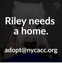 Meet Riley, Brooklyn ACC long-stay. Unfortunately, Riley's behavior has started to decline due to the stressful nature of a shelter environment. Despite her issues, she is an extremely lovable and social dog who would benefit from adoption asap. http://nycacc.org/adopt/riley-28801: ACC  Riley needs  a home  adopt@nycacc.org Meet Riley, Brooklyn ACC long-stay. Unfortunately, Riley's behavior has started to decline due to the stressful nature of a shelter environment. Despite her issues, she is an extremely lovable and social dog who would benefit from adoption asap. http://nycacc.org/adopt/riley-28801