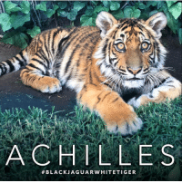 Memes, 🤖, and Warrior: ACH LLE S  BLACK JAGUAR WHITE TIGER One year ago today, Achilles arrived into the healing hands of @blackjaguarwhitetiger - and his incredible journey of healing began. With all the love and blue energy from around the world, and the incredible care of Eduardo and the BJWT team, Achilles has healed and has grown into the most beautiful blue warrior we know and love today. Thank you Achilles, for all you represent, and I can't wait to see all of the amazing things you will do in the years to come :) BlackJaguarWhiteTiger AchillesBJWT SaveTigers RescuedTiger ItsAllForLove @blackjaguarwhitetiger