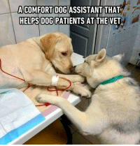 Memes, Good, and Helps: ACOMFORT DOG ASSISTANT THAT  HELPS DOG PATIENTS AT THE VET Good dogtor.⠀ @barked
