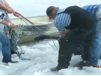 Frozen, Memes, and Brave: **ACT OF COMPASSION** What incredible and brave men to rescue this huge mama moose who was stuck in the frozen lake! HEROES!!!! Their wives and families must be proud of them! Saving a life is priceless!