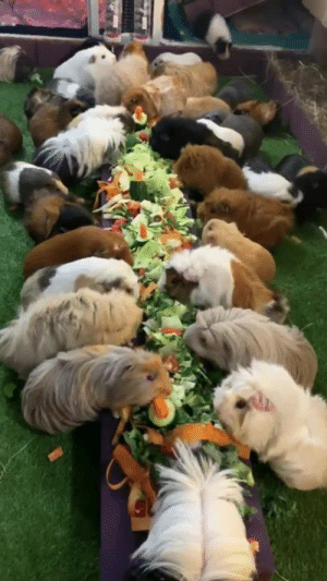 Actual footage of me and my friends at the all you can eat buffet... 😂🙌  Credit: Mason's Cavies: Actual footage of me and my friends at the all you can eat buffet... 😂🙌  Credit: Mason's Cavies