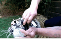 "actuallyalivingsaint:  that-kid-from-the-internet:  ciarachimera:  rampaigehalseyface:  sparkingtimepiece:  petermorwood:  4gifs:  Tiger gets a bad baby tooth removed  When a tiger's first response to having a tooth yanked is not a roar, snarl or swipe with claws, but a test nibble to check that its mouth works as well as it suddenly feels, it speaks volumes about how much the bad tooth* must have hurt. *You can see, briefly, that it's black and nasty on the inner side. Yuck.  poor baby  I'm just awed by the amount of trust in this gif. That tiger totally trusts that the human is going to help with that scary metal object on an already painful area and the human totally trusts that the tiger is just test nibbling and not chomping down on his arm. I flinch when a house cat comes at me too fast and these two don't even hesitate to trust each other.  baby :3   I cannot explain my fondness for the words ""test nibble""   ""thank you human"" *nibble nibble* ^_^ : actuallyalivingsaint:  that-kid-from-the-internet:  ciarachimera:  rampaigehalseyface:  sparkingtimepiece:  petermorwood:  4gifs:  Tiger gets a bad baby tooth removed  When a tiger's first response to having a tooth yanked is not a roar, snarl or swipe with claws, but a test nibble to check that its mouth works as well as it suddenly feels, it speaks volumes about how much the bad tooth* must have hurt. *You can see, briefly, that it's black and nasty on the inner side. Yuck.  poor baby  I'm just awed by the amount of trust in this gif. That tiger totally trusts that the human is going to help with that scary metal object on an already painful area and the human totally trusts that the tiger is just test nibbling and not chomping down on his arm. I flinch when a house cat comes at me too fast and these two don't even hesitate to trust each other.  baby :3   I cannot explain my fondness for the words ""test nibble""   ""thank you human"" *nibble nibble* ^_^"