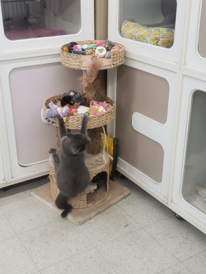 Adah, our resident paraplegic cat, won't let anything keep her from the toys!: Adah, our resident paraplegic cat, won't let anything keep her from the toys!