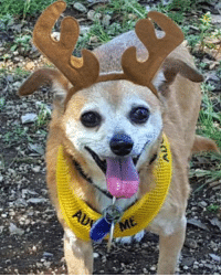 Chihuahua, Memes, and Information: ADe  ME Lago Vista, TX 9YO male Chihuahua mix  Amigo has decided the only way out of the shelter is to disguise himself as one of Santa's reindeer. This little guy is a champion lap snuggler who loves going to the dog park to play with other dogs his size. He's uncomfortable around dogs bigger than him though. He needs a quiet home with mature children who won't startle him. Amigo is neutered, microchipped and UTD on shots. If interested in adopting please fill out information form at lifelongfriends.org/adoptions. Texas residents only.