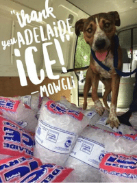 Memes, Puppies, and Kittens: ADELAiBE  _MOWGLi  제alv73a Adelaide Ice to the AWL's rescue!  With the hot weather well and truly here, there is one thing that our animals LOVE to keep cool with – ICE!  Thank you to the WONDERFUL team at Adelaide Ice who offered their services to us once again this year after donating during last year's heatwave.  All it took was a phone call and they were happy to help by supplying 100 bags of donated ice to our very full shelters to help keep our cats, dogs, kittens, puppies and rabbits cool!  Thank you Adelaide Ice for your ongoing support of the AWL and if you need ice, you know where to go!