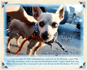 Animals, Chihuahua, and Children: Adeph  me  Saratego os474  precious little BLIND Chihuahua boy, said to be 14 YEARS old, a mere 9 lbs  This little sweetheart needs a loving retirement home ASAP. Inquire about him now  before it is too late! He is waiting for your Love & Care at the Manhattan, NY ACC  .d **FOSTER or ADOPTER NEEDED ASAP** Stratego 65474 ... a precious little BLIND Chihuahua boy, said to be 14 YEARS old, a mere 9 lbs. This little sweetheart needs a loving retirement home ASAP. Inquire about him now before it is too late! He is waiting for your Love & Care at the Manhattan, NY ACC.  ✔Pledge✔Tag✔Share✔FOSTER✔ADOPT✔Save a life!  Stratego 65474 Small Mixed Breed Sex male Age 14 yrs (approx.) - 9 lbs  My health has been checked.  My vaccinations are up to date. My worming is up to date.  I have been micro-chipped.  I am waiting for you at the Manhattan, NY ACC. Please, Please, Please, save me!  Found Location  Clinton St & Cherry Street NEW YORK, 10002 Date Found 6/10/2019  **************************************** *** TO FOSTER OR ADOPT ***   If you would like to adopt a NYC ACC dog, and can get to the shelter in person to complete the adoption process, you can contact the shelter directly. We have provided the Brooklyn, Staten Island and Manhattan information below. Adoption hours at these facilities is Noon – 8:00 p.m. (6:30 on weekends)  If you CANNOT get to the shelter in person and you want to FOSTER OR ADOPT a NYC ACC Dog, you can PRIVATE MESSAGE our Must Love Dogs - Saving NYC Dogs page for assistance. PLEASE NOTE: You MUST live in NY, NJ, PA, CT, RI, DE, MD, MA, NH, VT, ME or Northern VA. You will need to fill out applications with a New Hope Rescue Partner to foster or adopt a NYC ACC dog. Transport is available if you live within the prescribed range of states.  Shelter contact information: Phone number (212) 788-4000 Email adopt@nycacc.org  Shelter Addresses: Brooklyn Shelter: 2336 Linden Boulevard Brooklyn, NY 11208 Manhattan Shelter: 326 East 110 St. New York, NY 10029 Staten Island Shelter: 3139 Veterans Road West Staten Island, NY 10309 **************************************  Means of surrender (length of time in previous home): Stray  SAFER ASSESSMENT: Date of assessment: 11-Jun-2019 BEHAVIOR: Summary:  Leash Walking Strength and pulling: None Reactivity to humans: None Reactivity to dogs: None Leash walking comments: None  Sociability Loose in room (15-20 seconds): Distracted, does not approach Call over: no approach Sociability comments: Body soft, exploring room  Handling  Soft handling: Fearful Exuberant handling: Fearful Comments: Body tense, tail tucked, trembling  Arousal Jog: Unresponsive, does not engage Arousal comments: None  Knock: No response Knock Comments: None  Toy: No response Toy comments: None  DOG-DOG: Summary: When introduced off leash to dogs, Stratego keeps to himself.  INTAKE BEHAVIOR: Date of intake: 10-Jun-2019 Summary: Barking, allowed handling  MEDICAL BEHAVIOR: Date of initial: 10-Jun-2019 Summary: Tense, allowed handling  ENERGY LEVEL: We have no history on Stratego so we cannot be certain of his behavior in a home environment. At the care center, he has displayed a low level of energy.   BEHAVIOR DETERMINATION: Level 1  Behavior Asilomar H - Healthy  Recommendations: No young children (under 5) Recommendations comments: No young children: Stratego is a bit fearful at the care center. During handling, he maintains a tucked tail and trembles. We feel that he may be intimidated by young children.  Potential challenges: Fearful Potential challenges comments: Fearful: Stratego has been fearful at the care center. During his handling assessment, he maintained a tense body, tucked tail and was trembling. He will need time to acclimate to his new home environment. Please see handout on Decompression Period.   DVM Intake Exam Estimated age: 14-15 years Microchip noted on Intake? Yes Microchip Number (If Applicable): 985112003389991 History : Stray Subjective: BAR Observed Behavior -Nervous but he allowed all handling. No biting, growling or lunging.  Evidence of Cruelty seen -No Evidence of Trauma seen -No Objective  T = P =140 bpm R =eup BCS 5/9 EENT: Mature cataracts OU and blind OU, ears clean, no nasal or ocular discharge noted Oral Exam: 4/4, severe dental dz PLN: No enlargements noted H/L: NSR, NMA, CRT < 2, Lungs clear, eupnic, no c/s ABD: Non painful, no masses palpated U/G: M/N MSI: Ambulatory x 4, severe generalized patchy alopecia, he has some patches of fur, bald on all of his ventrum and limbs, no obvious masses CNS: Mentation appropriate - no signs of neurologic abnormalities Rectal: Clean externally Assessment: -Generalized alopecia/dermatitis -Dental dz -Blind/cataracts -Geriatric -Hypothyroid  -Elevated BUN, normal creatinine-r/o dehydration vs. early kidney dz -Elevated ALT (mild) Plan: -CBC/chem/T4 -Schedule medicated bath -Recommend dental once placed -LVT to get free-catch morning urine sample tomorrow to check USG -Start levothyroxine 0.1 mg PO BID until otherwise directed -Recheck thyroid in 4 weeks, 4-6 hours post morning dose of levothyroxine +/-adjust dosage based on results SURGERY: Already neutered ... NOTE:  *** WE HAVE NO OTHER INFORMATION THAN WHAT IS LISTED WITH THIS FLYER *** ... RE: ACC site Just because a dog is not on the ACC site does NOT necessarily mean safe. There are many reasons for this like a hold or an eval has not been conducted yet or the dog is rescue-only... the list goes on... Please, do share & apply to foster/adopt these pups as well until their thread is updated with their most current status. TY! ****************************************** About Must Love Dogs - Saving NYC Dogs: We are a group of advocates (NOT a shelter NOR a rescue group) dedicated to finding loving homes for NYC dogs in desperate need. ALL the dogs on our site need Rescue, Fosters, or Adopters & that ASAP as they are in NYC high-kill shelters. If you cannot foster or adopt, please share them far & wide. Thank you for caring!! <3 ****************************************** RESCUES: * Indicates New Hope Rescue partner is accepting applications for fosters and/or adopters. http://www.nycacc.org/get-involved/new-hope/nhpartners ****************************************** https://www.nycacc.org/adopt/stratego-65474 ++++ http://nycaccpets.shelterbuddy.com/animal/animalDetails.asp?s=adoption&searchTypeId=4&animalType=3%2C16&datelostfoundmonth=6&datelostfoundday=10&datelostfoundyear=2019&tpage=9&find-submitbtn=Find+Animals&pagesize=16&task=view&searchType=4&animalid=99258 ++++ https://nycaccpets.shelterbuddy.com/animal/animalDetails.asp?task=search&advanced=1&rspca_id=65474+&animalType=1%2C2%2C15%2C3%2C16%2C15%2C16%2C86%2C79&datelostfoundmonth=5&datelostfoundday=10&datelostfoundyear=2019&find-submitbtn=Find+Animals&tpage=1&searchType=2&animalid=99258 ++++ Beamer Maximillian Caro Hocker Carolin Hocker