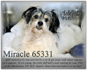 Animals, Desperate, and Dogs: Adlepl  me  Miracle 65331  aptly named as he was seen hit by  as it appears. 10 yrs young, this little fluff ball is now waiting for your TLC  at the Manhattan, NY ACC. Inquire about him now before it is too late!  a car & got away with minor injuries **FOSTER or ADOPTER NEEDED ASAP** Miracle 65331.. aptly named as he was seen hit by a car & got away with minor injuries as it appears. 10 yrs young, this little fluff ball is now waiting for your TLC at the Manhattan, NY ACC. Inquire about him now before it is too late!  ✔Pledge✔Tag✔Share✔FOSTER✔ADOPT✔Save a life!  Miracle 65331 Small Mixed Breed Sex male Age 10 yrs (approx.) - ? lbs  My health has been checked.  My vaccinations are up to date. My worming is up to date.  I have been micro-chipped.   I am waiting for you at the Manhattan, NY ACC. Please, Please, Please, save me!  Found Location : Lacombe & Screvin Street BRONX, 10473 Date Found 6/8/2019  **************************************** *** TO FOSTER OR ADOPT ***   If you would like to adopt a NYC ACC dog, and can get to the shelter in person to complete the adoption process, you can contact the shelter directly. We have provided the Brooklyn, Staten Island and Manhattan information below. Adoption hours at these facilities is Noon – 8:00 p.m. (6:30 on weekends)  If you CANNOT get to the shelter in person and you want to FOSTER OR ADOPT a NYC ACC Dog, you can PRIVATE MESSAGE our Must Love Dogs - Saving NYC Dogs page for assistance. PLEASE NOTE: You MUST live in NY, NJ, PA, CT, RI, DE, MD, MA, NH, VT, ME or Northern VA. You will need to fill out applications with a New Hope Rescue Partner to foster or adopt a NYC ACC dog. Transport is available if you live within the prescribed range of states.  Shelter contact information: Phone number (212) 788-4000 Email adopt@nycacc.org  Shelter Addresses: Brooklyn Shelter: 2336 Linden Boulevard Brooklyn, NY 11208 Manhattan Shelter: 326 East 110 St. New York, NY 10029 Staten Island Shelter: 3139 Veterans Road West Staten Island, NY 10309 ************************************** ... NOTE:  *** WE HAVE NO OTHER INFORMATION THAN WHAT IS LISTED WITH THIS FLYER *** ... RE: ACC site Just because a dog is not on the ACC site does NOT necessarily mean safe. There are many reasons for this like a hold or an eval has not been conducted yet or the dog is rescue-only... the list goes on... Please, do share & apply to foster/adopt these pups as well until their thread is updated with their most current status. TY! ****************************************** About Must Love Dogs - Saving NYC Dogs: We are a group of advocates (NOT a shelter NOR a rescue group) dedicated to finding loving homes for NYC dogs in desperate need. ALL the dogs on our site need Rescue, Fosters, or Adopters & that ASAP as they are in NYC high-kill shelters. If you cannot foster or adopt, please share them far & wide. Thank you for caring!! <3 ****************************************** RESCUES: * Indicates New Hope Rescue partner is accepting applications for fosters and/or adopters. http://www.nycacc.org/get-involved/new-hope/nhpartners ****************************************** https://www.nycacc.org/adopt/miracle-65331 ++++ ++++ https://nycaccpets.shelterbuddy.com/animal/animalDetails.asp?task=search&advanced=1&rspca_id=65331&animalType=1%2C2%2C15%2C3%2C16%2C15%2C16%2C86%2C79&datelostfoundmonth=6&datelostfoundday=1&datelostfoundyear=2019&find-submitbtn=Find+Animals&tpage=1&searchType=2&animalid=99154 ++++ Beamer Maximillian Carolin Hocker Caro Hocker