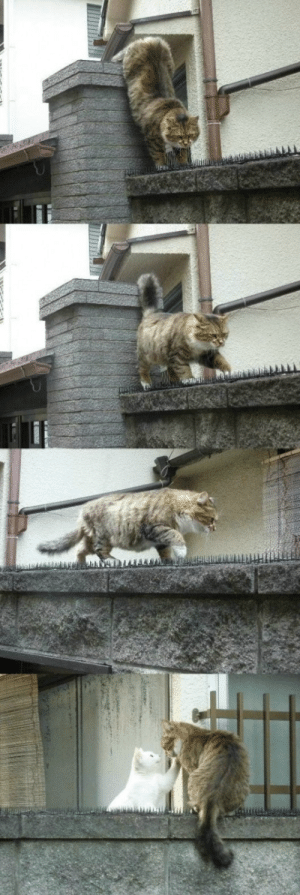 """admiralyurii: acquaintedwithrask:  stoneandbloodandwater:  forthegothicheroine:  youkoofthelovespot:  jali-jali:  charmory:  this is the most romantic thing i've seen all day  No shit. That tom cat was like: """"This thorn invested wall means nothing."""" """"I will gladly walk on it a thousand times over, if that means I could be with you, my lady."""" and the lady cat was all: """"My brave darling."""" OOOPS MY HAND SLIPPED!!  Suddenly my muse insisted me to draw the personification version of the last pic, and who am I to reject inspiration when it comes so willingly to me? At least this will help with the artblock issue I currently have to deal with. Russian imperial era inspired because hot damn. Note: I tried google reverse image (and other reverse image search engines) those photos and came up with nothing. I wish I knew the original photographer because I want to love hug him/her so hard for capturing such inspiring moments.  OMG that's the cutest thing ever and the best courtly love ah so brilliant.  Few romantic heroes could do better.  I don't post cats often butthat illustration.  that ILLUSTRATION    OMG  : admiralyurii: acquaintedwithrask:  stoneandbloodandwater:  forthegothicheroine:  youkoofthelovespot:  jali-jali:  charmory:  this is the most romantic thing i've seen all day  No shit. That tom cat was like: """"This thorn invested wall means nothing."""" """"I will gladly walk on it a thousand times over, if that means I could be with you, my lady."""" and the lady cat was all: """"My brave darling."""" OOOPS MY HAND SLIPPED!!  Suddenly my muse insisted me to draw the personification version of the last pic, and who am I to reject inspiration when it comes so willingly to me? At least this will help with the artblock issue I currently have to deal with. Russian imperial era inspired because hot damn. Note: I tried google reverse image (and other reverse image search engines) those photos and came up with nothing. I wish I knew the original photographer because I want to love hug him/h"""