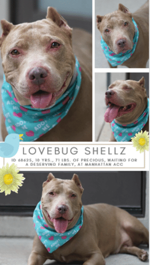 Beautiful, Best Friend, and Dogs: ADO  ME  LOVEBUG SHELLZ  ID 68625, 10 YRS., 71 LBs. OF PRECIOUS, WAITING FOR  A DESERVING FAMILY, AT MANHATTAN ACC  ADOPT INTAKE DATE  - 7/9/2019  **** ACC FOSTER CARE ****   SHELLZ AND LUGAR HAVE BEEN PLACED IN THE FOSTER CARE PROGRAM THROUGH THE SHELTER. THEY CAN be returned at ANY TIME, if an adopter is not found. For more information or to adopt, please EMAIL foster@nycacc.org - SUBJECT Line: Enter Dogs name & animal ID number - Don't forget to add your email address and phone numbers where they can reach you to your email as well. Thank you for caring. <3  A favorite volunteers says she's 72 lbs of snuggles, waddles and rolls, and we couldn't agree more.  Big and loveable, full of smiles and joy, SHELLZ is a grand dame of 10, with a heart as big as the world, who is happy to make friends with everyone who crosses her path.  We sense a kind wisdom in this lovely lady, and if she could speak, you know she could tell you a thing or two about life, love and loss.  Shellz and her best friend Lugar came to the shelter together, and you could not ask for a more perfect set of dogs.  Just like her sibling, Shellz would make a stellar companion, she's easy and relaxed and so friendly.  She is a star in doggy playgroup too!   We can't imagine what caused Shellz or Lugar to be relinquished to a kill shelter in the autumn of their lives, but they both have not missed a beat and have taken it in stride.  Once loved, once cared for, it shows in their demeanor and their shining coats.  Don't let beautiful, big hearted Shellz wait too long.  She is so deserving of a loving retirement home where she will be given all the happiness her gentle heart can hold.  Message our page or email us at MustLoveDogsNYC@gmail.com for assistance saving her life.  If you can take Lugar too, all the better!  MY MOVIES! Theodore, Astro and Shellz in Playgroup https://www.youtube.com/watch?v=_q0i4ArUcFQ   Shellz and Astro in Playgroup  https://youtu.be/9DnnmgaOoMg