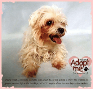 Animals, Cute, and Desperate: Adopt  M WONDERFUL  Daisy 5742... seriously adorable, cute as can be, 1o yrs young, a tiny 9 lbs, waiting for  you to save her life at the Brooklyn, NY ACC. Inquire about her now before it is too late! **FOSTER or ADOPTER NEEDED ASAP** Daisy 57426... seriously adorable, cute as can be, 10 yrs young, a tiny 9 lbs, waiting for you to save her life at the Brooklyn, NY ACC. Inquire about her now before it is too late!  ✔Pledge✔Tag✔Share✔FOSTER✔ADOPT✔Save her life!  Daisy 57426 Small Mixed Breed Sex female Age 10 yrs (approx.) - 9 lbs My health has been checked.  My vaccinations are up to date. My worming is up to date.  I have been micro-chipped.  I am waiting for you at the Brooklyn, NY ACC. Please, Please, Please, save me!  **************************************** To FOSTER or ADOPT this little nugget,  SPEAK UP NOW  &  APPLY with rescues  OR  message Must Love Dogs - Saving NYC Dogs for assistance immediately! **************************************  The general rule is to foster you have to be within 4 hours of the NYC ACC approved New Hope partner rescues you are applying with and to adopt you will have to be in the general NE US area; NY, NJ, CT, PA, DC, MD, DE, NH, RI, MA, VT & ME (some rescues will transport to VA).  **************************************  You must apply to rescues already approved to pull from NYC ACC shelters. Rescues can't do anything without APPLICATIONS! If your application is approved, rescue will arrange transport. ************************************** ... NOTE:  *** WE HAVE NO OTHER INFORMATION THAN WHAT IS LISTED WITH THIS FLYER *** ... ======== Shelter address ====== - Brooklyn Shelter: 2336 Linden Boulevard, Brooklyn, NY 11208  Operating hours: Monday through Friday 12.00pm to 8.00pm, Saturday & Sunday: 10.00am to 6.00pm. Closed on all Holidays. ******************************************  About Must Love Dogs - Saving NYC Dogs: We are a group of advocates (NOT a shelter NOR a rescue group) dedicated to fi