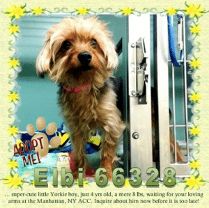 Animals, Cute, and Desperate: ADOPT  ME!  Elbi 66328  super-cute little Yorkie boy, just 4 yrs old, a mere 8 lbs, waiting for your loving  arms at the Manhattan, NY ACC. Inquire about him now before it is too late! **FOSTER or ADOPTER NEEDED ASAP** Elbi 66328 ... super-cute little Yorkie boy, just 4 yrs old, a mere 8 lbs, waiting for your loving arms at the Manhattan, NY ACC. Inquire about him now before it is too late!  ✔Pledge✔Tag✔Share✔FOSTER✔ADOPT✔Save a life!  Elbi 66328  Small Mixed Breed Sex male Age 4 yrs (approx.) - 8 lbs  My health has been checked.  My vaccinations are up to date. My worming is up to date.  I have been micro-chipped.   I am waiting for you at the Manhattan, NY  ACC. Please, Please, Please, save me!  Found Location Pike Street & Monroe Street NEW YORK, 10002 Date Found 6/17/2019  **************************************** *** TO FOSTER OR ADOPT ***   If you would like to adopt a NYC ACC dog, and can get to the shelter in person to complete the adoption process, you can contact the shelter directly. We have provided the Brooklyn, Staten Island and Manhattan information below. Adoption hours at these facilities is Noon – 8:00 p.m. (6:30 on weekends)  If you CANNOT get to the shelter in person and you want to FOSTER OR ADOPT a NYC ACC Dog, you can PRIVATE MESSAGE our Must Love Dogs - Saving NYC Dogs page for assistance. PLEASE NOTE: You MUST live in NY, NJ, PA, CT, RI, DE, MD, MA, NH, VT, ME or Northern VA. You will need to fill out applications with a New Hope Rescue Partner to foster or adopt a NYC ACC dog. Transport is available if you live within the prescribed range of states.  Shelter contact information: Phone number (212) 788-4000 Email adopt@nycacc.org  Shelter Addresses: Brooklyn Shelter: 2336 Linden Boulevard Brooklyn, NY 11208 Manhattan Shelter: 326 East 110 St. New York, NY 10029 Staten Island Shelter: 3139 Veterans Road West Staten Island, NY 10309 **************************************  NOTE:  WE HAVE NO OTHER INFORMATION THAN WHAT IS LISTED WITH THIS FLYER.  ************************************** RE: ACC site Just because a dog is not on the ACC site does NOT necessarily mean safe. There are many reasons for this like a hold or an eval has not been conducted yet or the dog is rescue-only... the list goes on... Please, do share & apply to foster/adopt these pups as well until their thread is updated with their most current status. TY! ****************************************** About Must Love Dogs - Saving NYC Dogs: We are a group of advocates (NOT a shelter NOR a rescue group) dedicated to finding loving homes for NYC dogs in desperate need. ALL the dogs on our site need Rescue, Fosters, or Adopters & that ASAP as they are in NYC high-kill shelters. If you cannot foster or adopt, please share them far & wide. Thank you for caring!! <3 ****************************************** RESCUES: * Indicates New Hope Rescue partner is accepting applications for fosters and/or adopters. http://www.nycacc.org/get-involved/new-hope/nhpartners ****************************************** https://www.nycacc.org/adopt/elbi-66328 ++++ http://nycaccpets.shelterbuddy.com/animal/animalDetails.asp?s=adoption&searchTypeId=4&animalType=3%2C16&datelostfoundmonth=6&datelostfoundday=19&datelostfoundyear=2019&tpage=8&find-submitbtn=Find+Animals&pagesize=16&task=view&searchType=4&animalid=99790 ++++ https://nycaccpets.shelterbuddy.com/animal/animalDetails.asp?task=search&advanced=1&rspca_id=66328+&animalType=1%2C2%2C15%2C3%2C16%2C15%2C16%2C86%2C79&datelostfoundmonth=6&datelostfoundday=1&datelostfoundyear=2019&find-submitbtn=Find+Animals&tpage=1&searchType=2&animalid=99790 ++++ Beamer Maximillian Caro Hocker Carolin Hocker