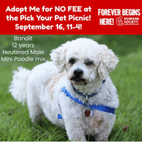 Dogs, Memes, and Puppies: Adopt Me for NO FEE at  the Pick Your Pet Picnic!  September 16, 11-4!  FOREVER BEGINS  HERE!  HUMANE  SOCIETY  oMIDLAND COUNTY  Bandit  12 years  Neutered Male  Mini Poodle mix All dogs/puppies in our shelter can be viewed here.  Any dog not being held as a stray is available for immediate, same-day adoption! Adoption applications are reviewed on site. Please share our dogs and help get them out of the shelter as quickly as possible!  **PLEASE NOTE**  Placing an application on a dog featured in this album does NOT hold the dog for you.  All available dogs are available to be met and adopted same day if already altered.  If not altered, the dog can be met and paid for in order to hold the dog for you.  Thank you for your understanding!