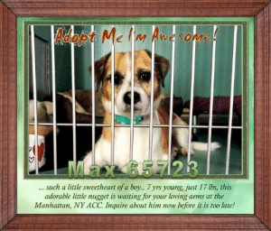 Desperate, Dogs, and Life: Adopt Me Inn Avesopme!  Max 6.5.7 23  such a little sweetheart of a boy... 7 yrs young, just 17 lbs, this  adorable little nugget is waiting for your loving arms at the  Manhattan, NY ACC. Inquire about him now  before it is too late! **FOSTER or ADOPTER NEEDED ASAP** Max 65723 ... such a little sweetheart of a boy... 7 yrs young, just 17 lbs, this adorable little nugget is waiting for your loving arms at the Manhattan, NY ACC. Inquire about him now before it is too late!  ✔Pledge✔Tag✔Share✔FOSTER✔ADOPT✔Save a life!  Max 65723 Small Mixed Breed Sex male Age 7 yrs (approx.) - 17 lbs  My health has been checked.  My vaccinations are up to date. My worming is up to date.  I have been micro-chipped.   I am waiting for you at the Manhattan, NY ACC. Please, Please, Please, save me!  **************************************** *** TO FOSTER OR ADOPT ***   If you would like to adopt a NYC ACC dog, and can get to the shelter in person to complete the adoption process, you can contact the shelter directly. We have provided the Brooklyn, Staten Island and Manhattan information below. Adoption hours at these facilities is Noon – 8:00 p.m. (6:30 on weekends)  If you CANNOT get to the shelter in person and you want to FOSTER OR ADOPT a NYC ACC Dog, you can PRIVATE MESSAGE our Must Love Dogs - Saving NYC Dogs page for assistance. PLEASE NOTE: You MUST live in NY, NJ, PA, CT, RI, DE, MD, MA, NH, VT, ME or Northern VA. You will need to fill out applications with a New Hope Rescue Partner to foster or adopt a NYC ACC dog. Transport is available if you live within the prescribed range of states.  Shelter contact information: Phone number (212) 788-4000 Email adopt@nycacc.org  Shelter Addresses: Brooklyn Shelter: 2336 Linden Boulevard Brooklyn, NY 11208 Manhattan Shelter: 326 East 110 St. New York, NY 10029 Staten Island Shelter: 3139 Veterans Road West Staten Island, NY 10309 ************************************** ... NOTE:  *** WE HAVE NO OTHER INFORMATION THAN WHAT IS LISTED WITH THIS FLYER *** ... RE: ACC site Just because a dog is not on the ACC site does NOT necessarily mean safe. There are many reasons for this like a hold or an eval has not been conducted yet or the dog is rescue-only... the list goes on... Please, do share & apply to foster/adopt these pups as well until their thread is updated with their most current status. TY! ****************************************** About Must Love Dogs - Saving NYC Dogs: We are a group of advocates (NOT a shelter NOR a rescue group) dedicated to finding loving homes for NYC dogs in desperate need. ALL the dogs on our site need Rescue, Fosters, or Adopters & that ASAP as they are in NYC high-kill shelters. If you cannot foster or adopt, please share them far & wide. Thank you for caring!! <3 ****************************************** RESCUES: * Indicates New Hope Rescue partner is accepting applications for fosters and/or adopters. http://www.nycacc.org/get-involved/new-hope/nhpartners ****************************************** https://www.nycacc.org/adopt/max-65723 ++++ ++++ ++++ Caro Hocker Carolin Hocker Beamer Maximillian